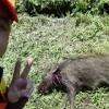 【ツカ狩猟】槍の使い方「鳥獣駆除イノシシ105センチ20キロ」