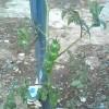 【ツカファーム】トマト植えるよツカファーム