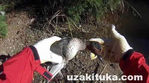 【ツカ狩猟】コガモ撃って食べた