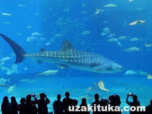 「沖縄美ら海水族館(1850円)」沖縄県【観光】綺麗な海!鯨みたいに巨大なジンベイザメだらけ!
