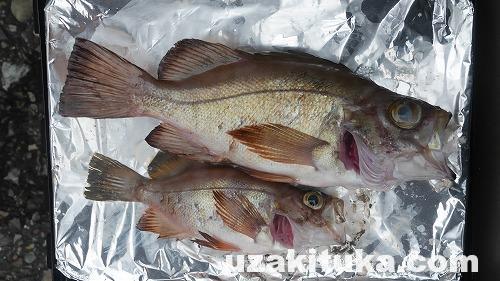 「メバル釣って食べる」和歌山勝浦港【釣り】