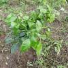 【家庭菜園】みかんの木をふたつ植えるよ
