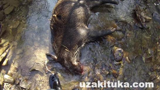 #2宇崎ツカの栃木で狩猟サバイバル「イノシシ解体」