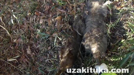 宇崎ツカの栃木で狩猟サバイバル⑤_イノシシ2匹仕留める