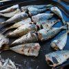 亀浦港「アジ釣って食べる!」徳島県【釣り】11月