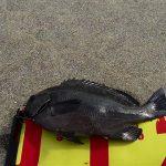 「タチウオ・グレ・アジ釣って食べる」香川県津田埋立地【釣り】