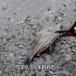 「ウマズラハギ釣って食べる」兵庫県兵庫突堤【釣り】