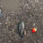 「コッパグレ釣れた」香川県免許センター前【釣り】
