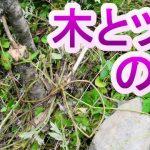 「木とツタで作る罠」#3山奥の川で自給自足のサバイバル生活