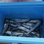 「アジ・イワシ釣って食べる」兵庫県福良漁港(淡路島)【釣り】