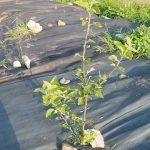【家庭菜園】果物の木を植えて「フルーツ食べ放題企画」二年目の夏