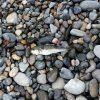市振漁港「クサフグ釣れた」新潟県【釣り】9月
