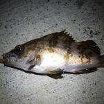 久慈港で釣り「カレイとメバル釣った!」茨城県